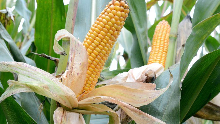 Les pays Européenns n'ont pas réussi à se mettre d'accord sur l'autorisation d'un maïs OGM