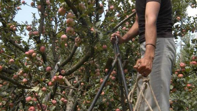 Un arboriculteur sur une échelle, en pleine cueillette des pommes.