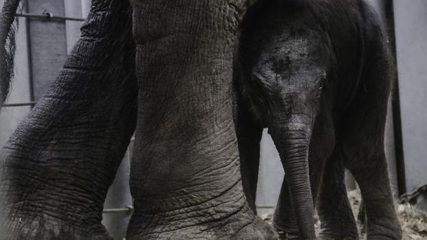 Tom l'éléphanteau du Pal avec sa mère Nina.