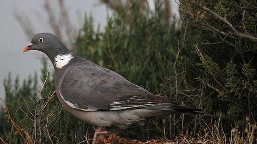 Pigeon ramier (illustration)