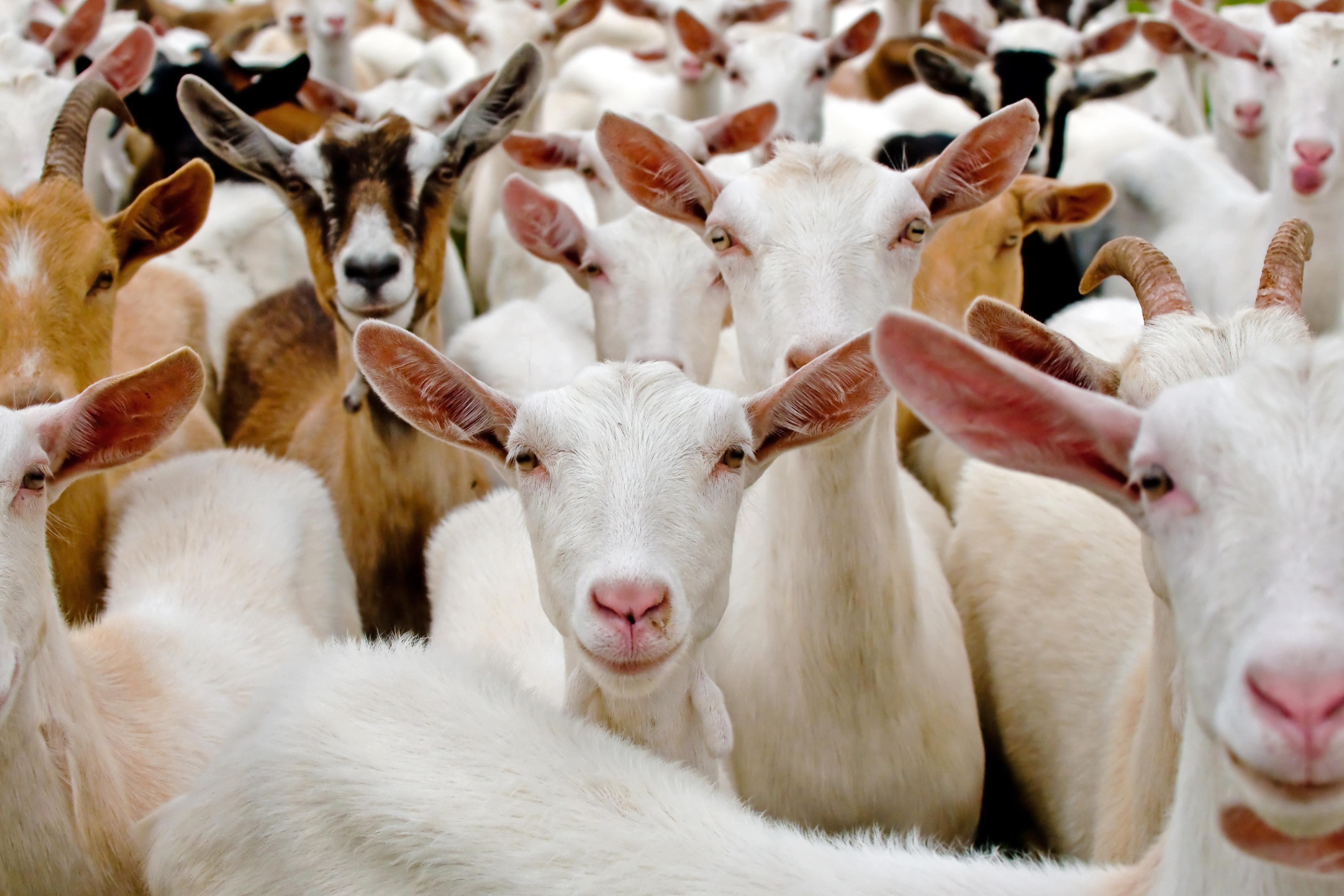 Troupeau de chèvres (illustration)