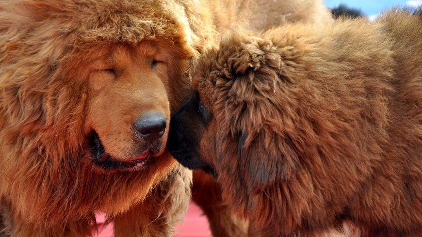 Les mastiffs tibétains ont le vent en poupe en Chine