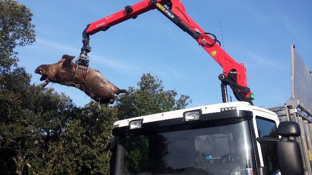 Le cochonglier découvert le 15 mars à Bourg Saint Andeol en Ardèche