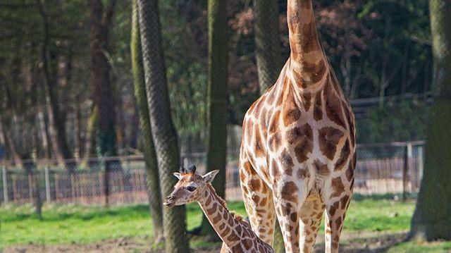La naissance d'un bébé girafe au sarafi parc de Peaugres
