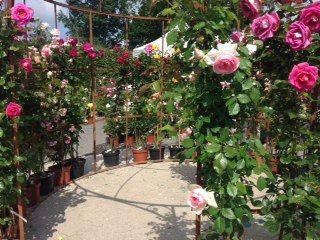Les roses ornent toute la ville. - Radio France