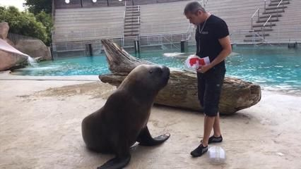 VIDEO - Au zoo d'Amnéville, l'otarie Watson pronostique la victoire de la France face à la Suisse au Mondial