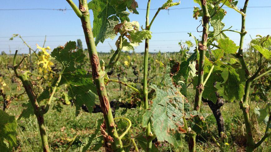 Les vignes grêlées du Médoc