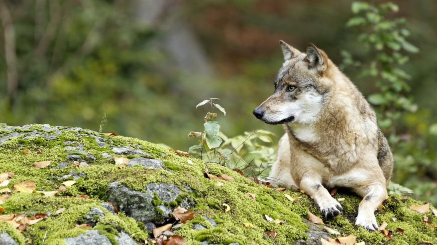 Le Loup des Vosges (photo d'illustration)