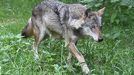 Loup du parc animalier du Mercantour (illustration)