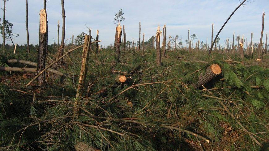 Les stigmates de la tempête Klaus dans les Landes, le 23 janvier 2009.