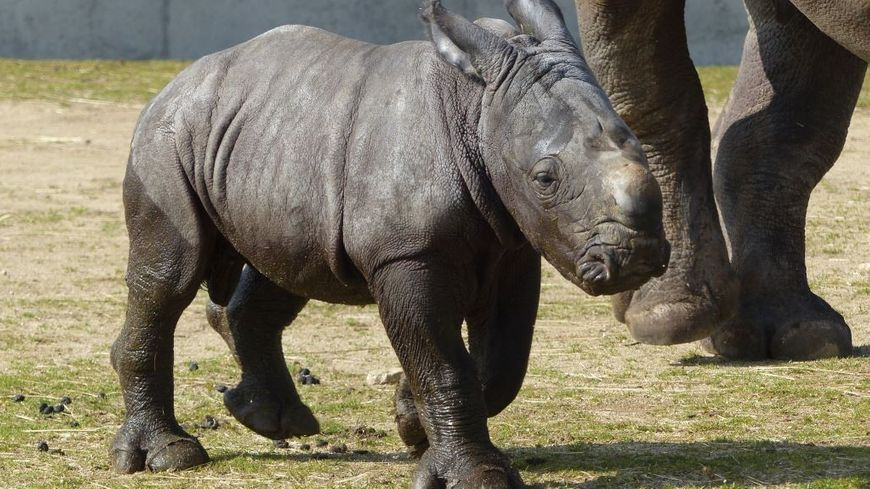 Le rhinocéros blanc Unesco est né le 11 mars 2015 au Safari de Peaugres en Ardèche