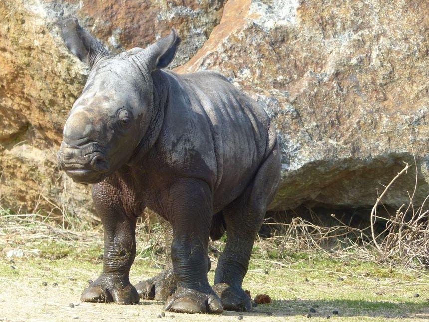 Le rhinocéros blanc Unesco, né le 11 mars 2015 au Safari de Peaugres en Ardèche, fait sa première sortie - Safari de Peaugres
