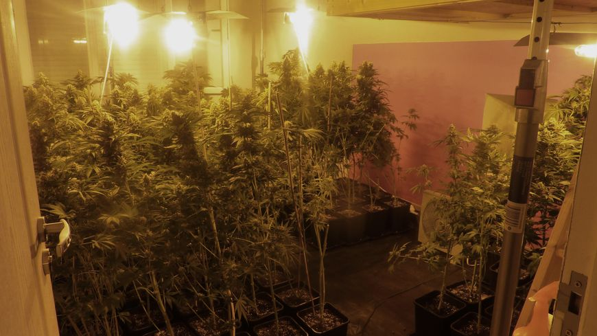 Plants de cannabis Harfleur