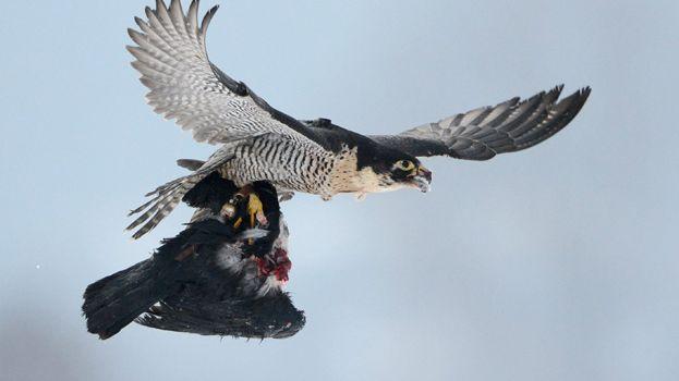 L'homme poursuivi utilisait es faucons pour de la chasse au vol.