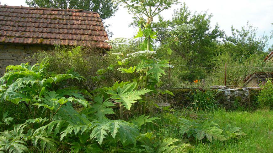 des plantes exotiques urticantes en creuse
