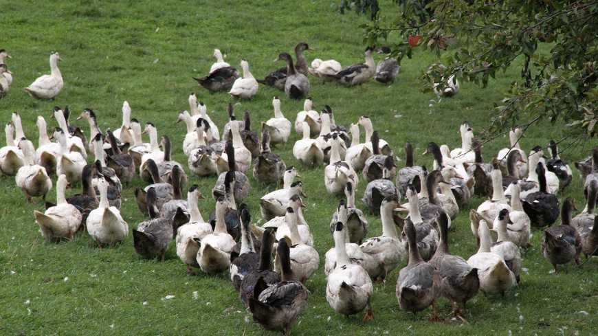 Un élevage de canards et d'oies (photo d'illustration)