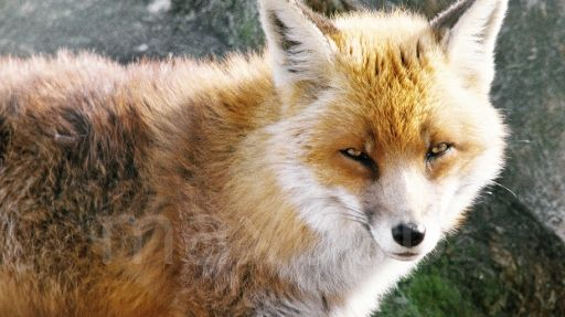 Le renard est aussi un citadin!