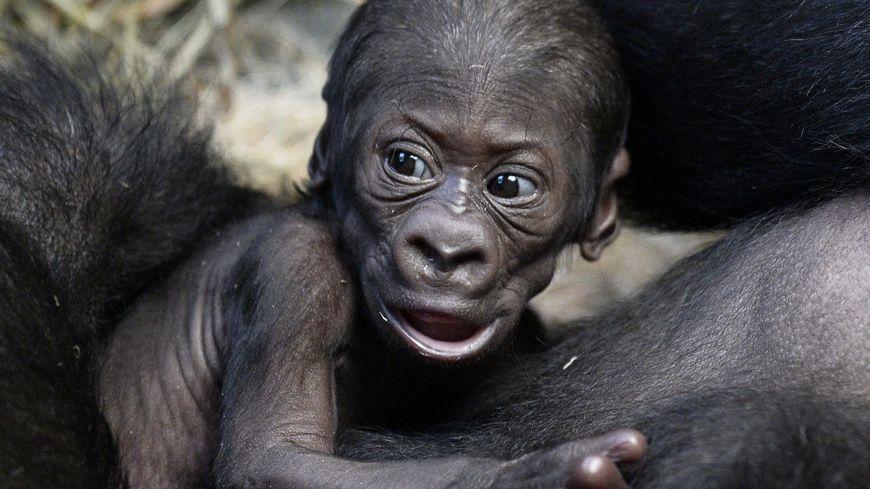 Les chercheurs ont obtenu 8 singes modifiés (illustration)