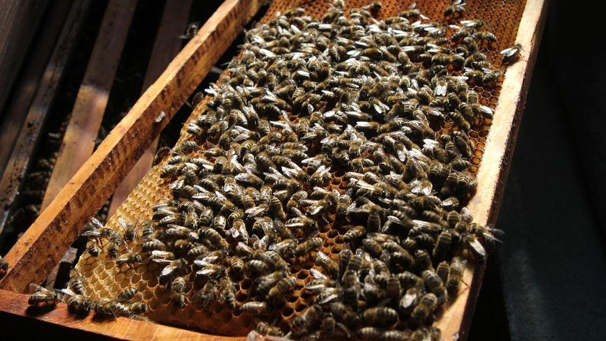 Les cheptels d'abeilles ont été très impactés ces dernières années