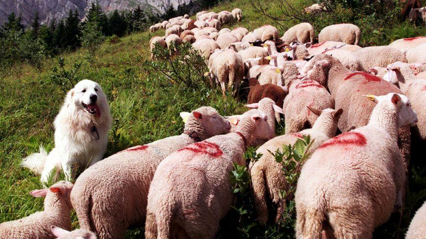 Un chien patou protège les troupeaux contre le loup.