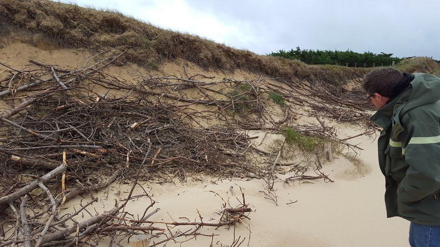 L'ONF se charge d'installer les branches sur les dunes avec des écoles