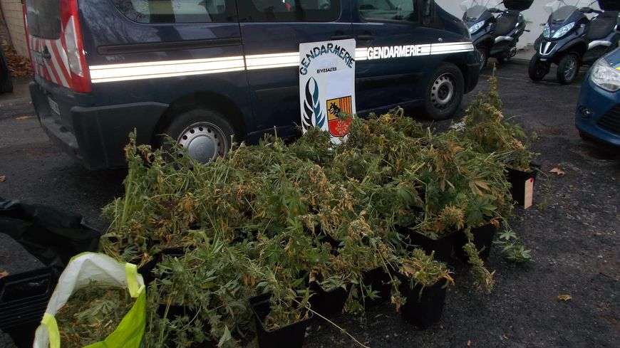 """La culture """"in-door"""" de cannabis saisie à Baixas"""