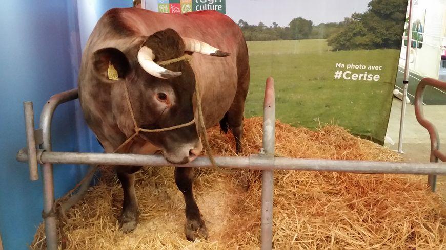 Salon de l 39 agriculture la vache landaise cerise est for Vache salon de l agriculture