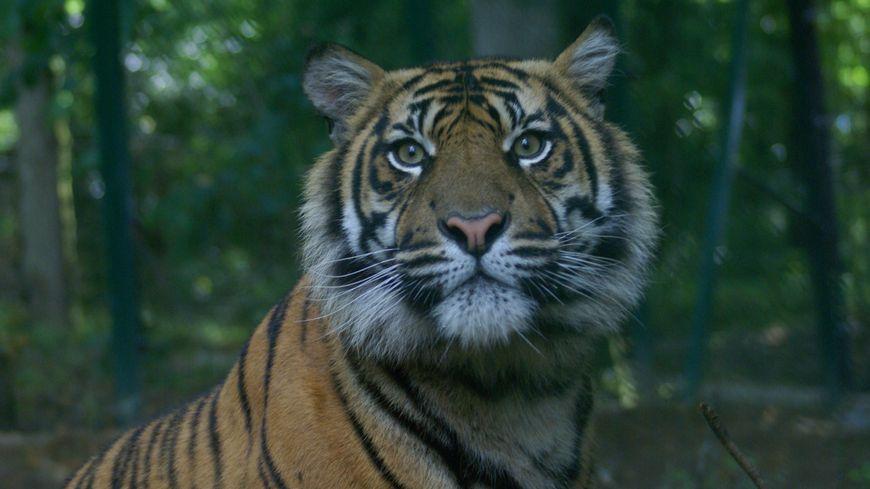 Depuis cette année, le parc du Reynou héberge deux tigres de Sumatra, une espèce en danger critique d'extinction - © Parc du Reynou