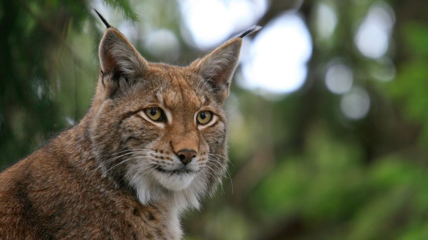 Le lynx en Rhénanie-Palatinat