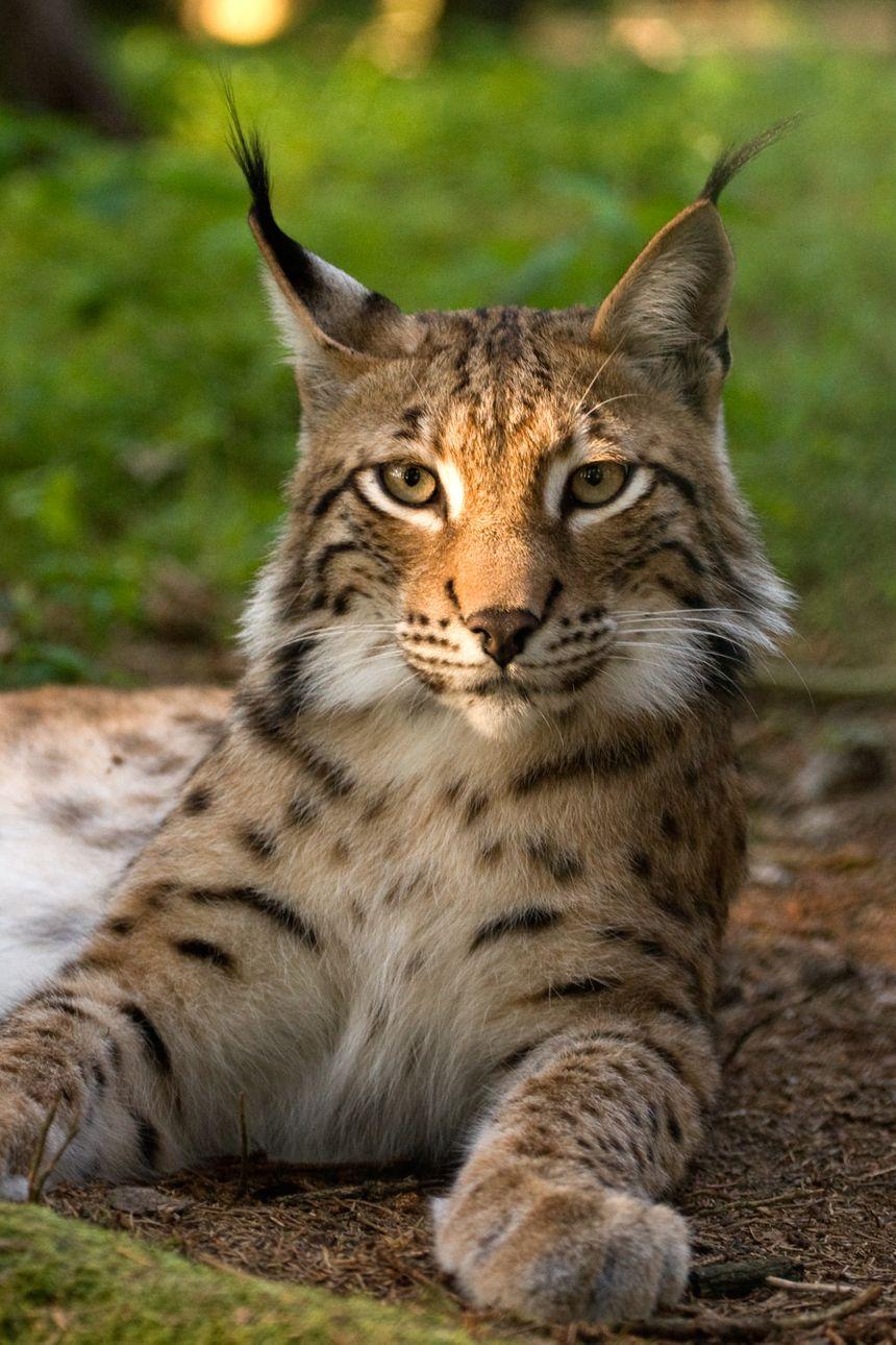 Le lynx pourrait revenir dans les Vosges du nord - Aucun(e)