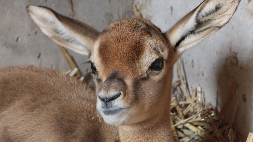Nilame, tout juste un mois, née le 10 juillet au zoo de Lunaret à Montpellier