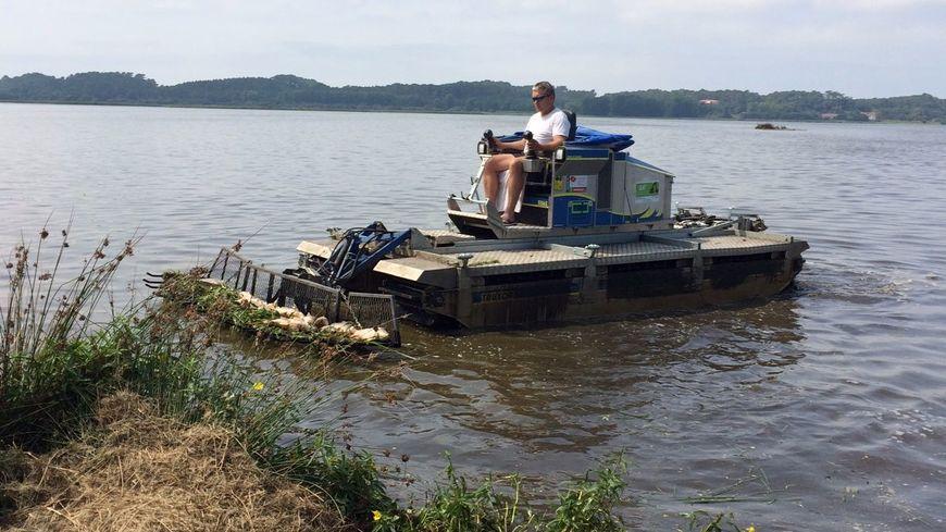 Des pelles mécaniques amphibies ramassent les carpes