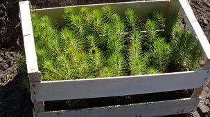 Jeunes pins en attente de plantation