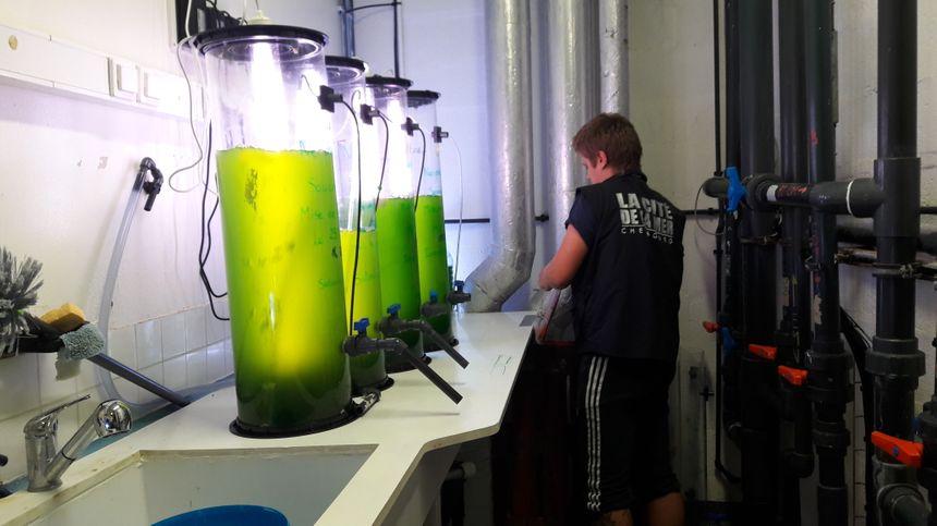 Dans ses laboratoires, la Cité de la Mer possède ses propres élevages. Ici, du plancton destiné au nourrissage des invertébrés. - Radio France
