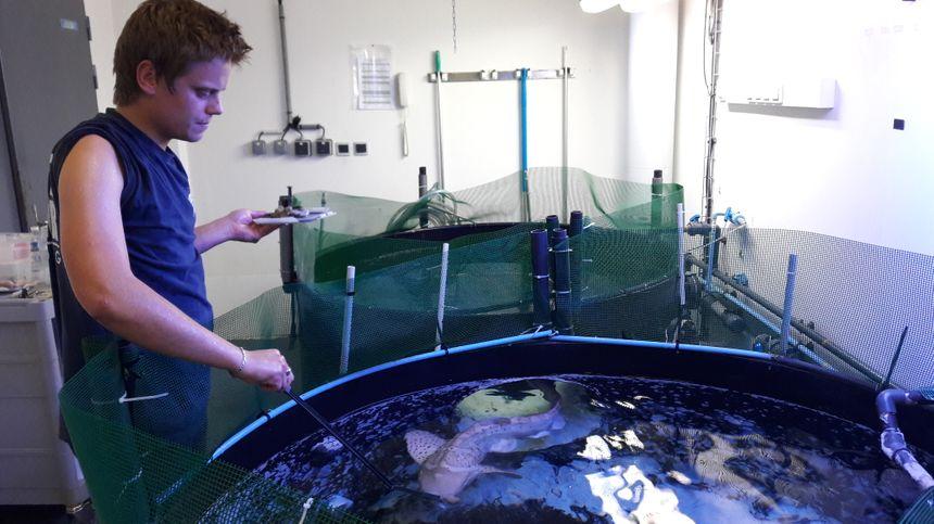 Mitsou, le requin-léopard encore en quarantaine, nourri à la pince par Julien, technicien biologiste. Au menu : crevettes, gambas et un calamar en dessert. - Radio France