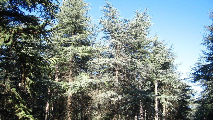 Forêt de cèdres à Bonnieux