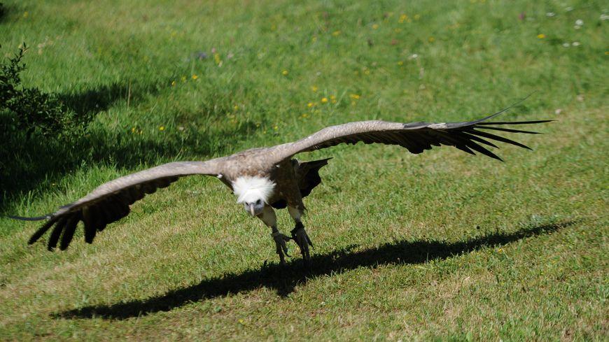 Plusieurs vautours occupaient le champ