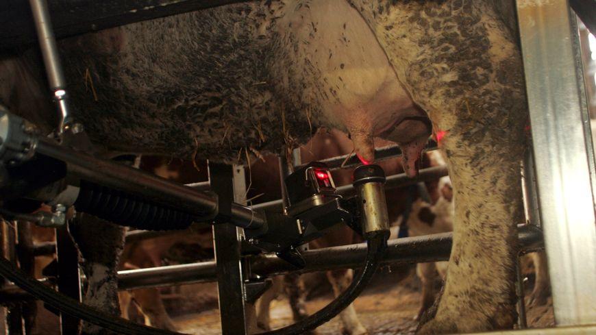 La traite des vaches dans une exploitation agricole