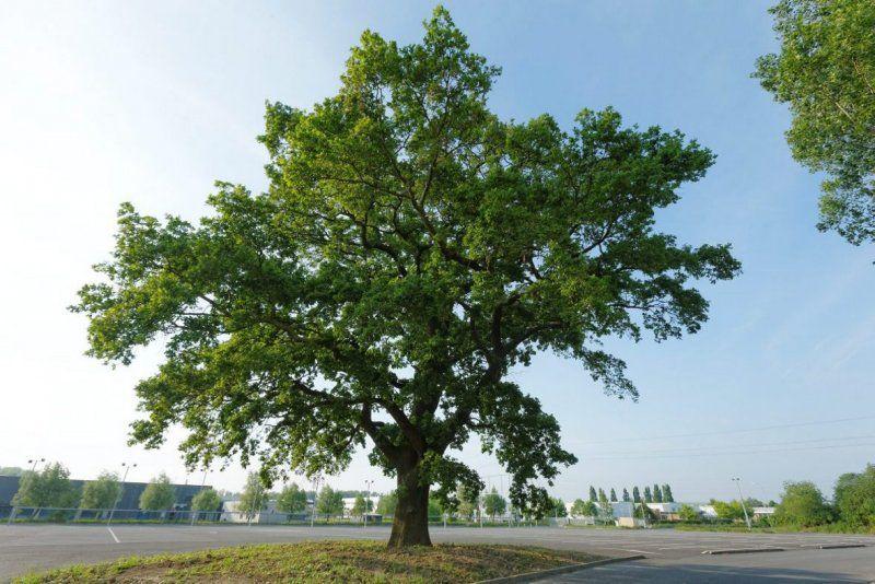 Le chêne du Parc Lavoisier à Petite-Forêt - Aucun(e)