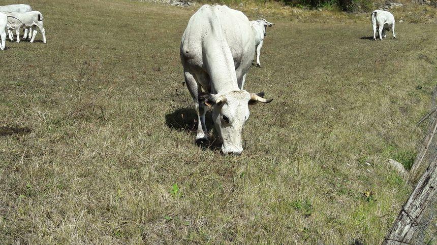 La vache dans le pré !! - Radio France