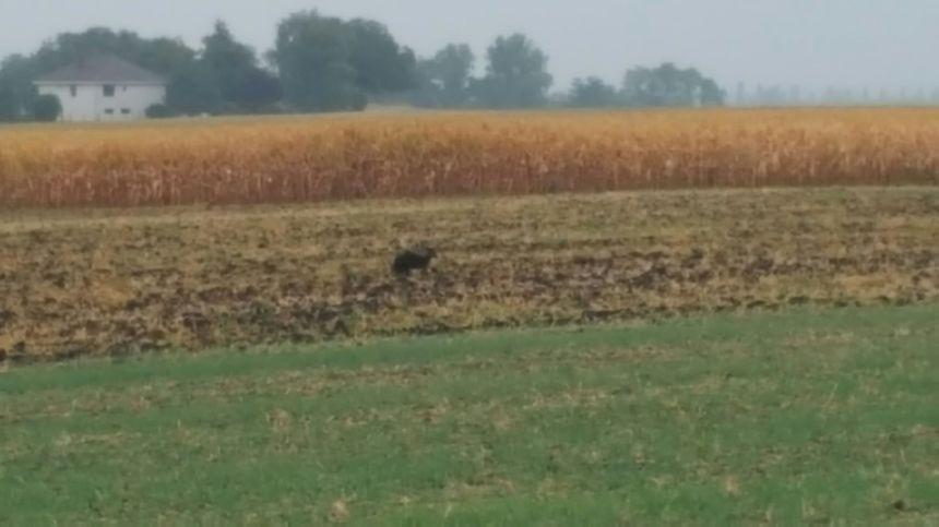 Le wallaby fugueur pris en photo dans un champ à Ennezat - Aucun(e)