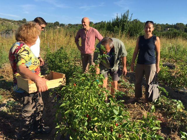 Des piments doux des Cévennes qu'on vient juger sur pieds - Radio France