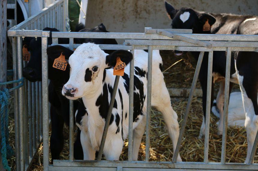 Ce veau a un mois et demi, il rejoindra le troupeau à 3 mois - Radio France