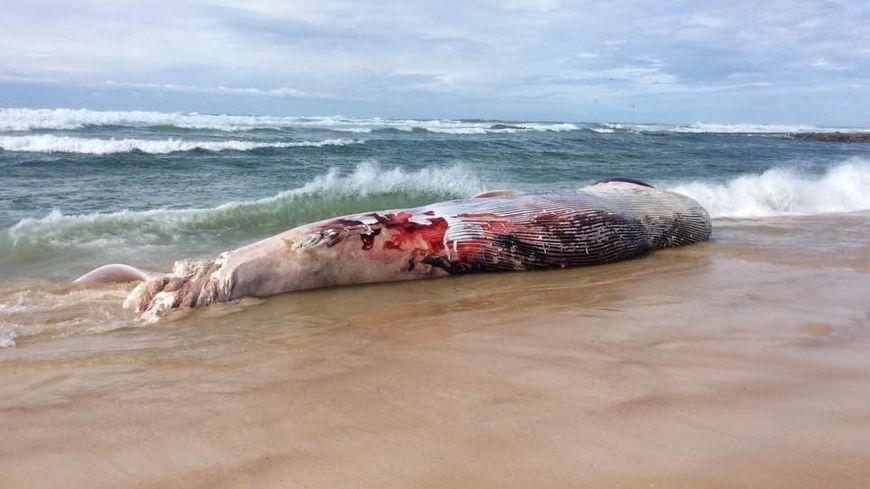 La baleine échouée sur la plage du cap de l'Homy