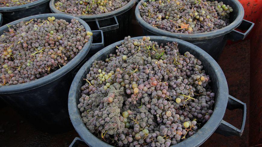 Seule solution pour éviter des problèmes de trésorerie, acheter du raisin dans le sud de la France.