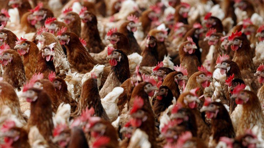 5000 poules pondeuses sont mortes dans un poulailler de Boujailles ce lundi
