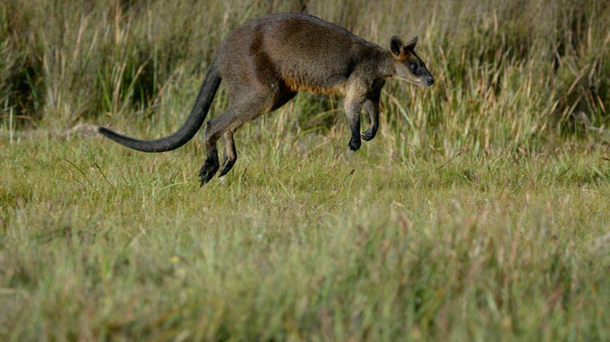 Un wallaby fugueur se promène dans le Puy-de-Dôme