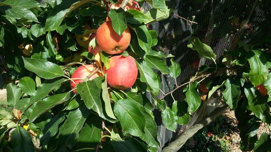 La chaleur de l'été gorge les fruits de sucre et précipite la cueillette