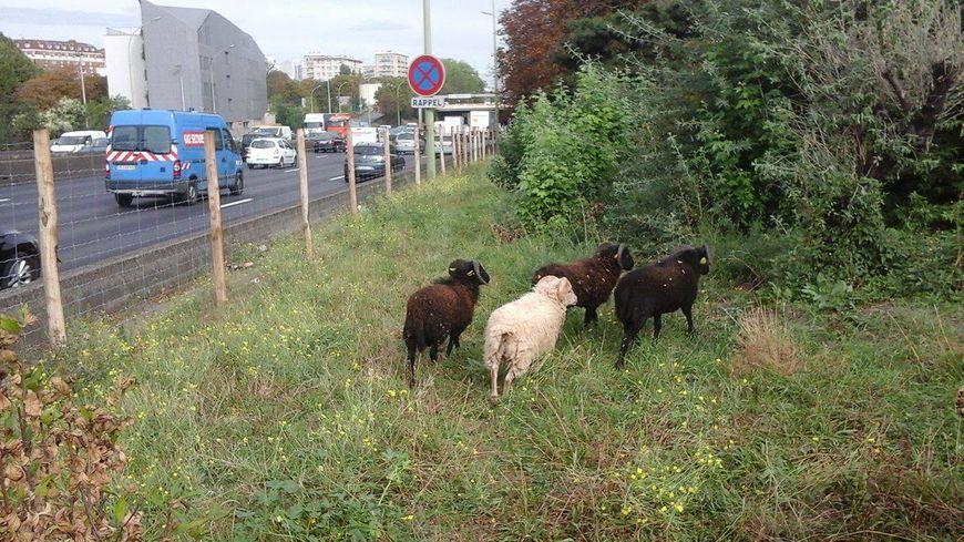 Des moutons de l'entreprise green-sheep.fr au bord du périphérique
