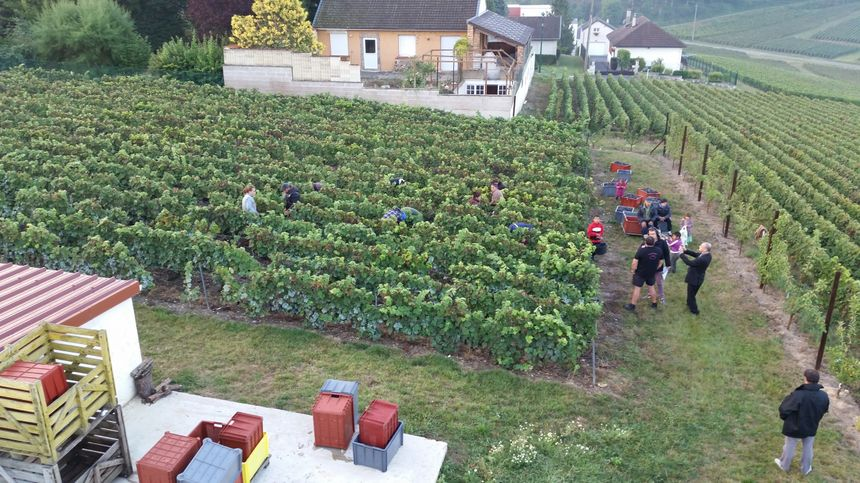 Vendanges en Champagne - Radio France